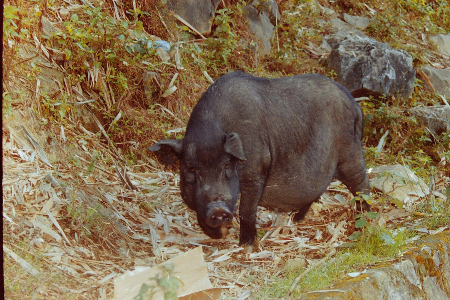 Image of a Vietnamese pot-bellied pig