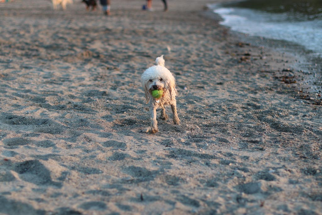 A photo of a dog carrying a ball shot with the Canon 80D