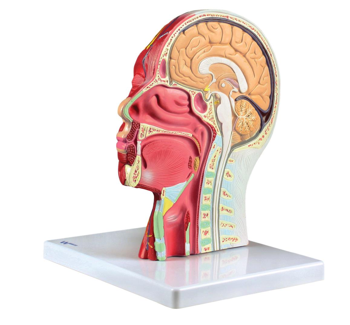 anatomical model head back to school