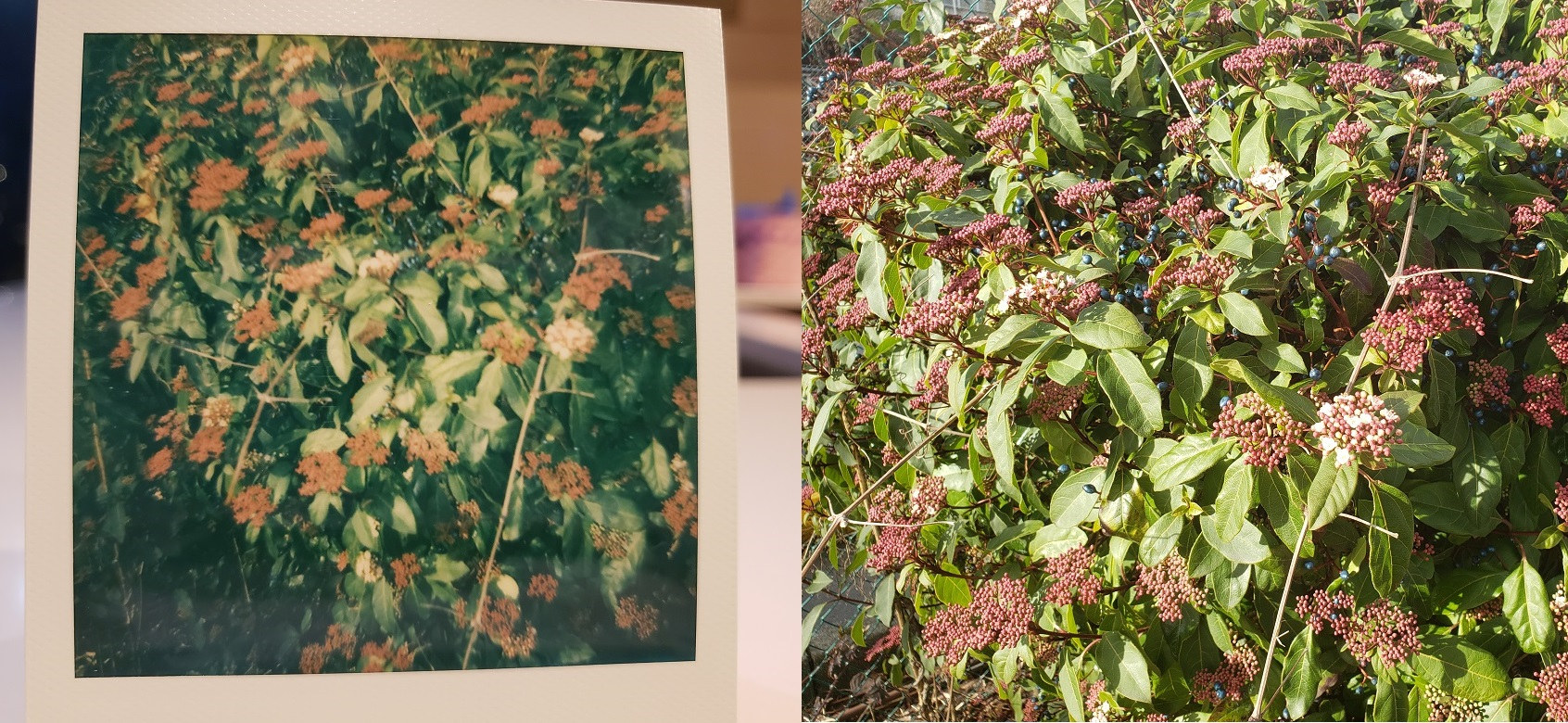 image of a Polaroid photos of colourful bushes next to the same photo taken with a digital camera